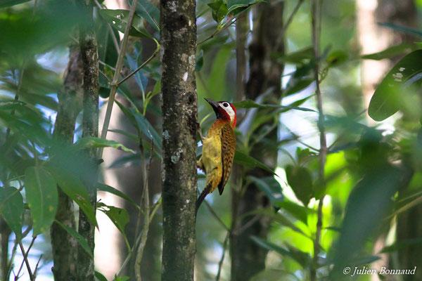 Pic de Cayenne (Colaptes punctigula) (mâle adulte) (Cayenne, le 03/04/2016)