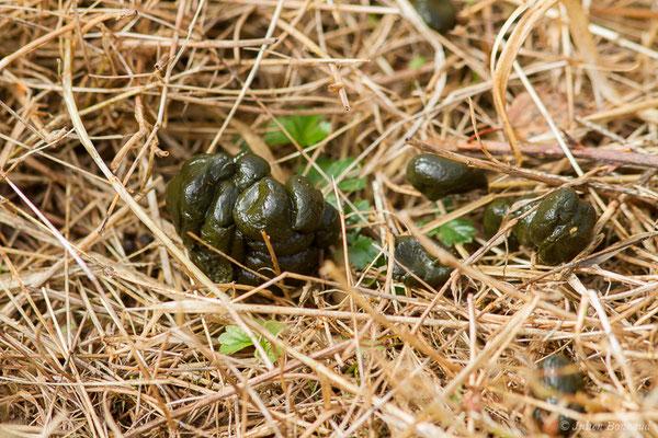Moquette de Chevreuil européen – Capreolus capreolus (Linnaeus, 1758), (Buzy (64), France, le 02/10/2020)