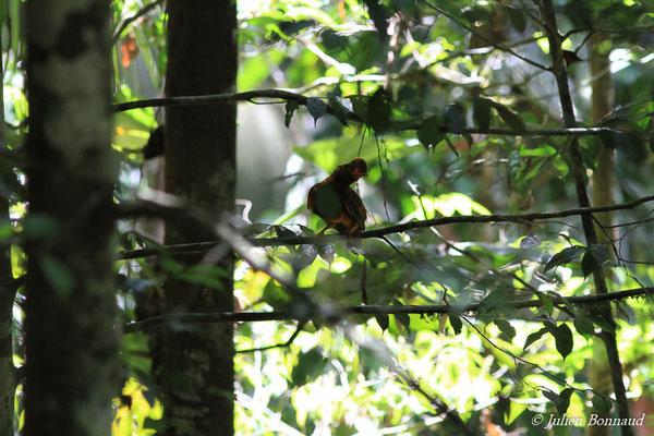 Coq-de-roche orange (Rupicola rupicola) (mâle immature) (Montagne des Gouffres, le 21/11/2015)