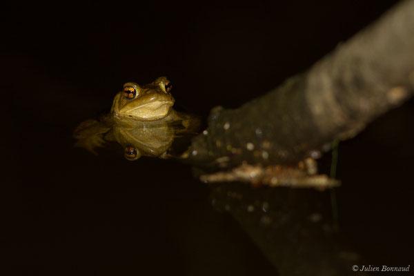 Crapaud épineux (Bufo spinosus) (Duhort-Bachen (40), le 13/01/2019)