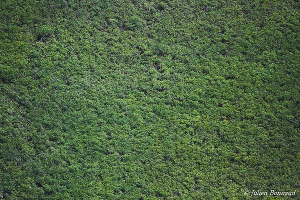 Mangrove à Palétuvier rouge (Rhizophora racemosa) (prise de vue depuis un hélicoptère)