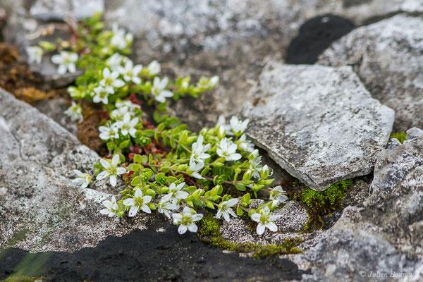 Sabline ciliée ou Sabline à plusieurs tiges (Arenaria ciliata) (Station de ski de Gourette, Eaux Bonnes (65), France, le 15/06/2020)