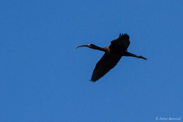 Ibis falcinelle – Plegadis falcinellus (Linnaeus, 1766), (Marais du Vigueirat (13), France, le 19/02/2020)