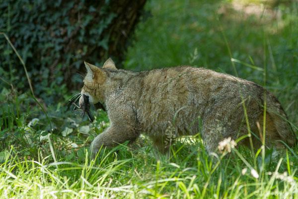Chat forestier – Felis silvestris Schreber, 1775, (adulte), (Zoodycée, Chizé (79), France, le 12/06/2021)