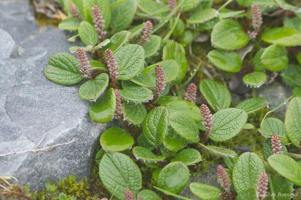 Saule à réseau ou Saule à feuilles réticulées (Salix reticulata) (Station de ski de Gourette, Eaux Bonnes (65), France, le 15/06/2020)