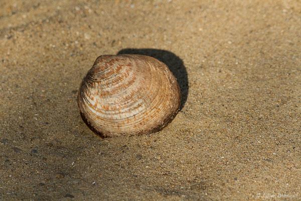 Amande de mer, Amande marbrée, Amande commune, Coque rouge, Amande du large, Vovan – Glycymeris glycymeris (Linnaeus, 1758), (achat en poissonnerie)