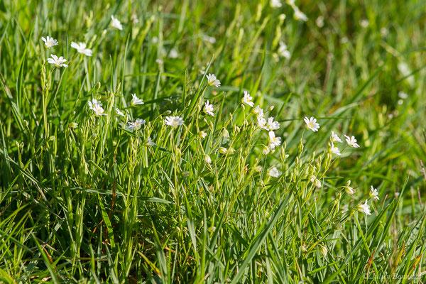 Stellaire holostée (Stellaria holostea) (Adé (65), France, le 10/03/2021)