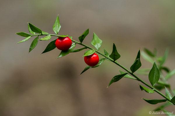 Fragon ou Petit houx, Buis piquant (Bryonia dioica) (Lacq (64), France, le 02/07/2020)