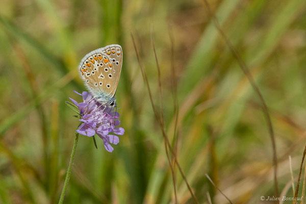 Azuré de la Bugrane, Argus bleu, Azuré d'Icare, Icare, Lycène Icare, Argus Icare (Polyommatus icarus) (Périgueux (24), France, le 06/08/2018)
