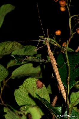 (Agrostia cinerea) (femelle adulte) (Route de Roura, le 12/07/2015)