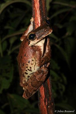 Ostéocéphale taurin (Osteocephalus cf. taurinus) (route de Kaw, le 28/12/2015)
