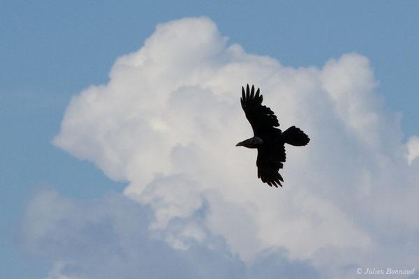 Grand Corbeau (Corvus corax) (Pihourc, Saint-Godens (31), France, le 21/05/2018)