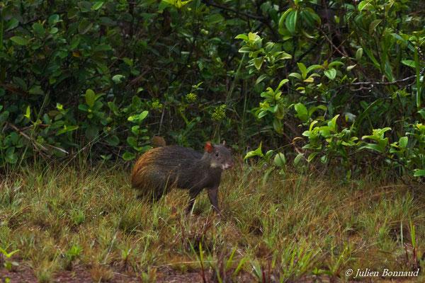 Agouti (Dasyprocta leporina) (Centre Spatial Guyanais, Kourou, le 17/02/2017)