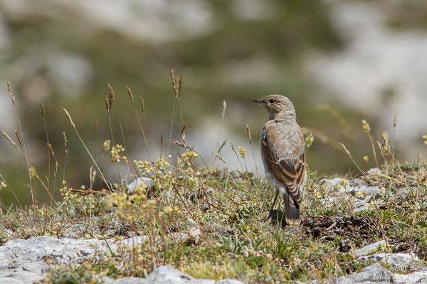 Traquet motteux (Oenanthe oenanthe) (juvénile) (Col du Pourtalet, Laruns (64), France, le 06/07/2019)