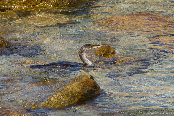 Cormoran huppé – Phalacrocorax aristotelis (Linnaeus, 1761), (Campomoro (2A), France, le 04/09/2019)