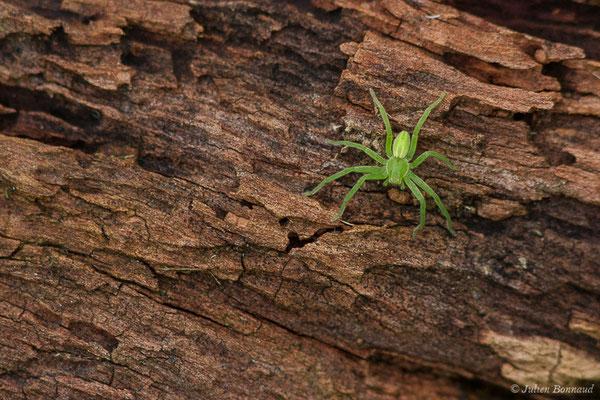 Micrommate émeraude (Micrommata virescens) (Parbayse (64), France, le 25/01/2020)