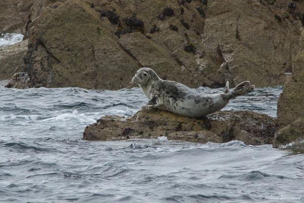 Phoque gris – Halichoerus grypus (Fabricius, 1791), (Réserve naturelle nationale des Sept-Îles, Perros-Guirec (22), France, le 05/07/2021)