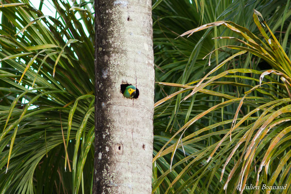 Ara macavouanne (Orthopsittaca manilatus) (adulte) (Centre Spatial Guyanais, Kourou, le 20/02/2017)