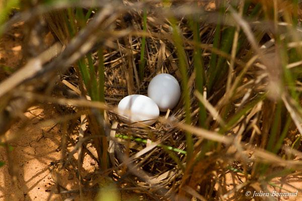 Colombe à queue noire (Columbina passerina) (Citron, Guyane, le 13/10/2018)