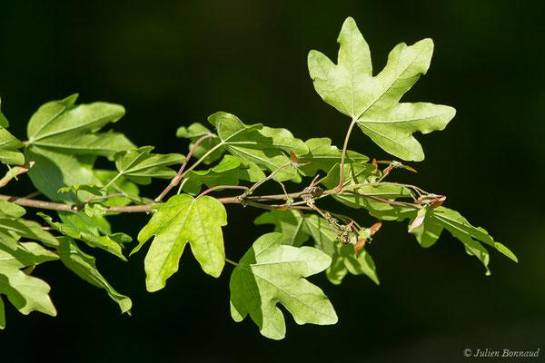 Érable champêtre (Acer campestre) (Loubieng (64), France, le 29/04/2020)