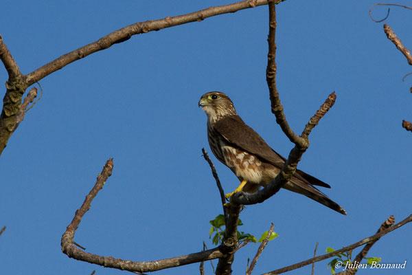 Faucon émerillon – Falco columbarius Linnaeus, 1758, (route de Guatémala, Guyane le 04/12/2016)