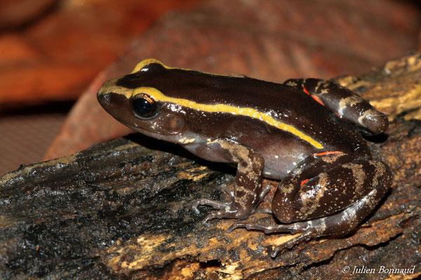 Lithodyte rayé (Lithodytes lineatus) (Centre Spatial Guyanais, Kourou, le 26/11/2014)