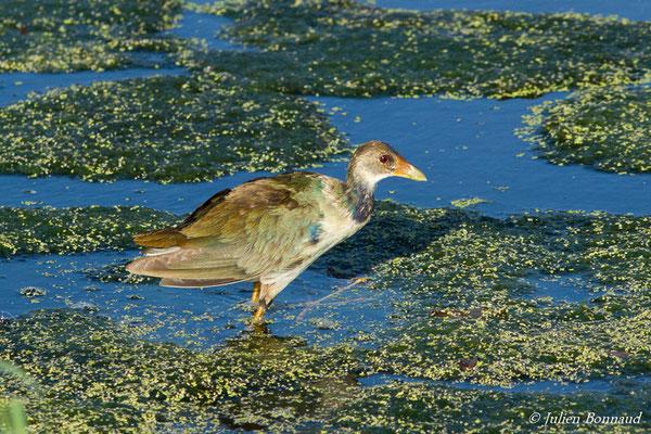 Talève violacée (Porphyrio martinicus) (immature) (lac Marie-Claire, Kourou, le 04/12/2016)