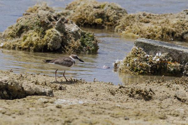 Pluvier de wilson (Charadrius wilsonia) (mâle adulte en plumage nuptial) (Pointe des Châteaux, Guadeloupe, le 24/05/2016)