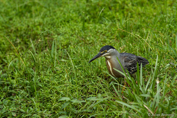 Héron strié (Butorides striata) (adulte) (Montsinéry, Guyane, le 09/07/2017)