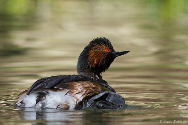 Grèbe à cou noir – Podiceps nigricollis Brehm, CL, 1831, (adulte en plumage nuptial) (parc animalier des Pyrénées, France, le 01/04/2018)