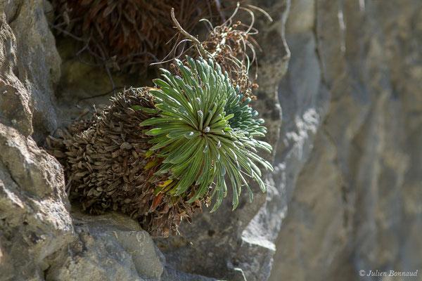 Saxifrage à feuilles longues (Saxifraga longifolia) (Etsaut (64), France, le 30/04/2019)