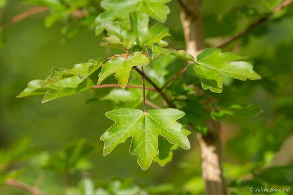 Érable champêtre (Acer campestre) (Parbayse (64), France, le 07/05/2020)