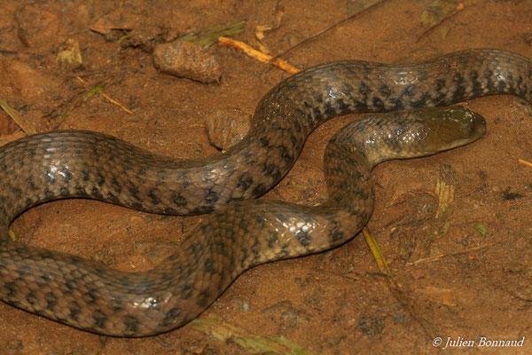 Helicope léopard (Helicops leopardinus) (adulte) (Salines de Remire-Montjoly, le 19/05/2015)