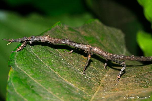 (Pterinoxylus eucnemis) (femelle adulte) (Montagne de fer, le 30/07/2015)