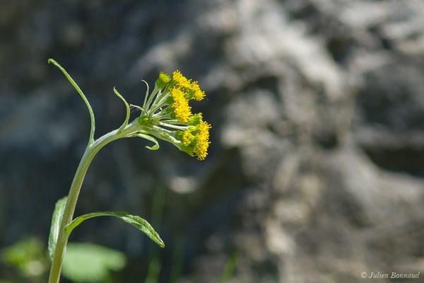 Séneçon à feuilles en spatule (Tephroseris helenitis) (Etsaut (64), France, le 29/04/2019)