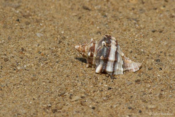 Rocher fascié – Hexaplex trunculus (Linnaeus, 1758), (Carnon, Mauguio (34), France, 2009)