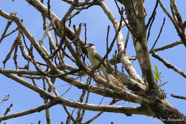 Bécarde cendrée (Pachyramphus rufus) (mâle adulte) (Citron, le 19/04/2016)