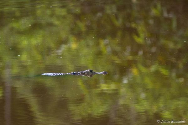 Caïman à lunette (Caiman crocodilus) (adulte) (mine d'or Espérance, Apatou, le 11/05/2017)