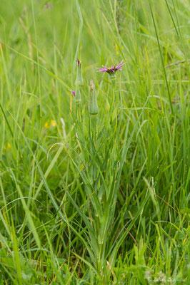 Salsifis à feuilles de poireau (Tragopogon porrifolius) (Braud-et-Saint-Louis (33), France, le 09/05/2019)