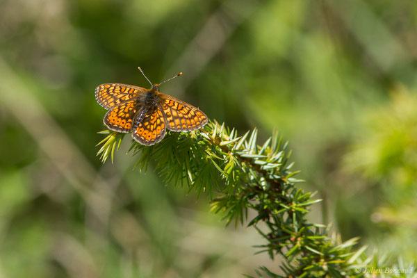 Damier de la succise ou Damier des marais (Euphydryas aurinia) (Pihourc, Saint-Godens (31), France, le 21/05/2018)