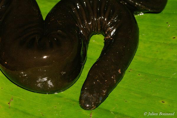 Cécilie à queue comprimée (Typhlonectes compressicaudus) (Marais de vidal, Cayenne, le 10/04/2015)