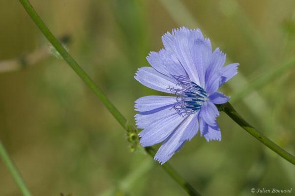Chicorée amère (Cichorium intybus) (Braud-et-Saint-Louis (33), France, le 26/06/2018)