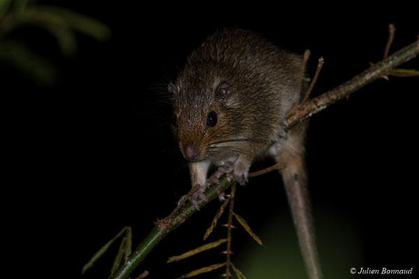 Rat arboricole au nez rouge (Makalata didelphoides) (route de Guatémala, le 24/07/2017)