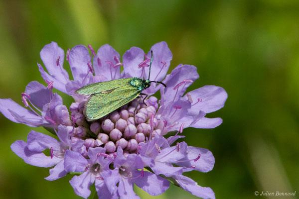Turquoise (Adscita sp.) (femelle) (Le Bastan de Sers, Sers (65), France, le 29/06/2018)