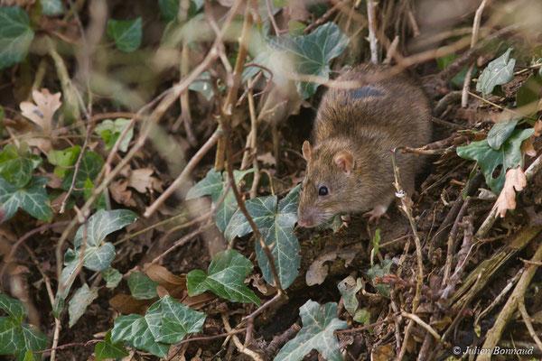 Rat surmulot – Rattus norvegicus Heinrich, 1952 (Baie de Saint-Brieuc, Hillion (22), France, le 22/02/2018)
