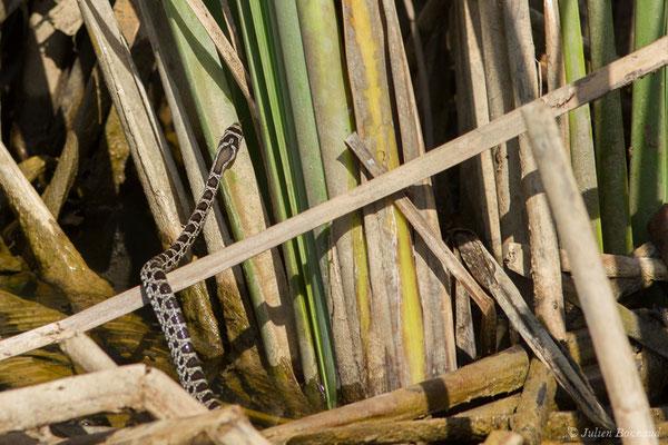 Couleuvre fer-à-cheval – Hemorrhois hippocrepis (Linnaeus, 1758), (jeune) (Sagres (Vila do Bispo), (Algarve), Portugal, le 03/09/2018)