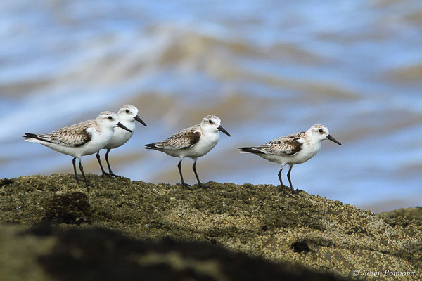 Bécasseau sanderling – Calidris alba (Pallas, 1764), (adulte, plumage internuptial) (Pointe Buzaré, Cayenne, Guyane, le 12/12/2015)