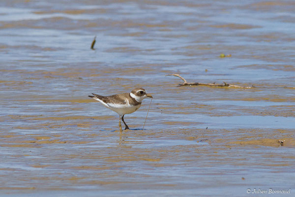 Pluvier semipalmé (Charadrius semipalmatus) (adulte, plumage internuptial) (Route des plages, Remire-Montjoly, le 29/03/2017)
