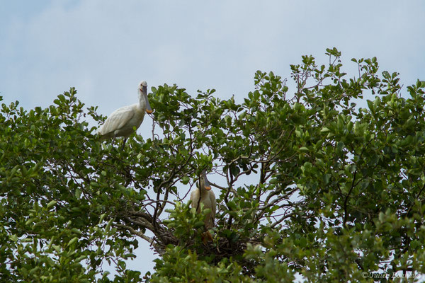 Spatule blanche (Platalea leucorodia) (couple) (Braud-et-Saint-Louis (33), France, le 04/07/2018)