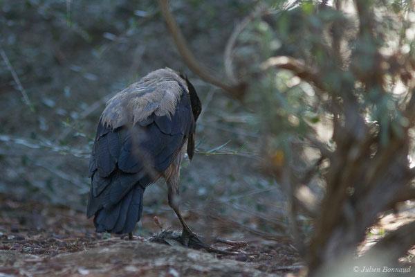 Corneille mantelée (Corvus cornix) (Monticello (2B), France, le 13/09/2019)
